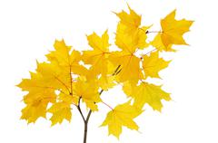 Maple branch with bright yellow leaves Stock Photos