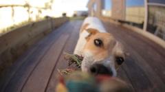 Dog tug-of-war HD - stock footage