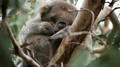 Cute Dreaming Koala - stock footage