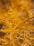 Detail of larch branch Stock Photos