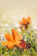 autumn maple leaves in the dewy grass - stock photo