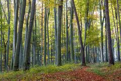 Footpath of leaves in autumn beech forest Stock Photos