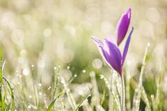 colchicum autumnale - stock photo