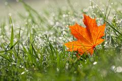 Stock Photo of autumn maple leaf in the dewy grass