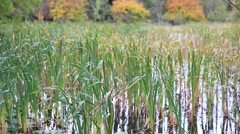 Bulrush waving in the wind - stock footage