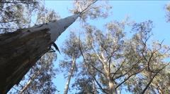 Australian Gum Tree HD Stock Footage