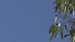 Wedge Tailed Eagle Focus Pull Australia HD Stock Footage
