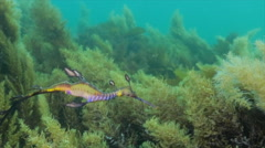 Weedy Sea Dragon Australia HD Stock Footage