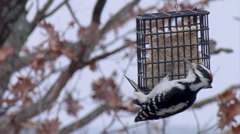 Downy Woodpecker - Winter Bird Feeding with Suet Stock Footage