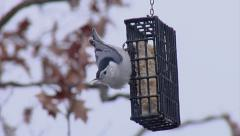 White Breasted Nuthatch -  Winter Bird Feeding with Suet Stock Footage