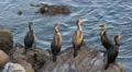 Cormorants on Rocky Shoreline HD Footage
