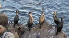 Cormorants on Rocky Shoreline Stock Footage