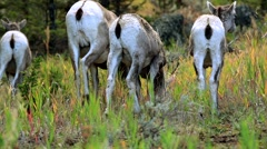 Wild bighorn sheeps  in Yellowstone National Park Stock Footage