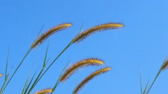 Summer scene of reeds waving in the wind on a sunny day Stock Footage
