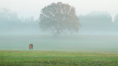 Morning Fog on Lone Horses Grazing Stock Footage