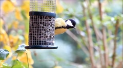 Great tit loves sunflower seeds Stock Footage