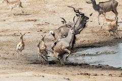 unsuccessful attack on crocodile to antilops kudu and unsuccessful crocodile  - stock photo