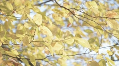 Autumn leafs on branch moving in wind. - stock footage