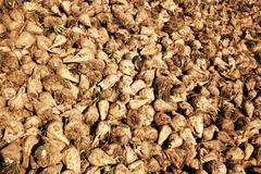 Acres with sugar beets Stock Photos