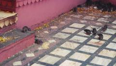 Rats at Karni Mata Temple, India. Stock Footage