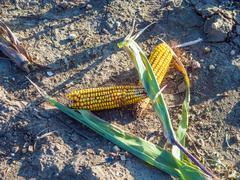indian corn in golden light - stock photo