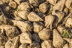 Acres with sugar beets after harvest Stock Photos