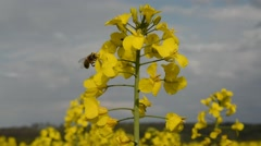 Canola field with busy bee. Stock Footage