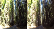 Stock Video Footage of 3d driving down avenue of the giants