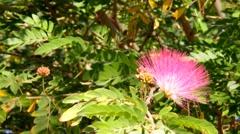 Calliandra tweedii, Inga pulcherrima . Mimosoideae Stock Footage