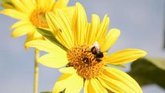 Bumblebee gathering pollen on sunflower. Macro. Stock Footage