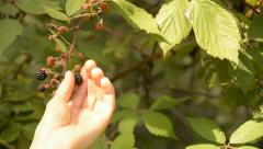 Wild Blackberry Picking. Picking fresh, ripe blackberries off the bush at summer Stock Footage