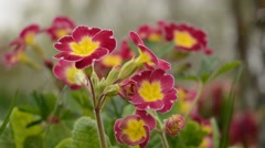 Primrose flower in gentle wind. Stock Footage