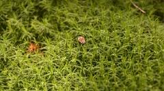 Bug (Pyrrhocoris apterus) in moss. HD. Stock Footage