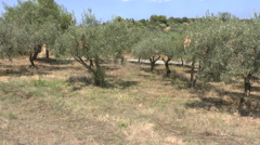 Peaceful Olive grove in Greece Stock Footage