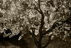 Blossoming tree sepia Stock Photos