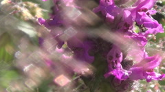 Carpathians, the dew on the grass, sage - stock footage