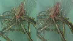 3d kelp crab on kelp. shot in the pacific ocean off shelter cove using a gopr Stock Footage