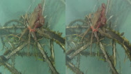 Stock Video Footage of 3d kelp crab on kelp. shot in the pacific ocean off shelter cove using a gopr