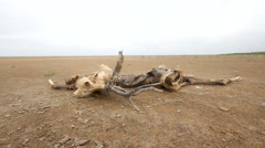 Dead animal antelope among sand and  drought Stock Footage