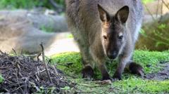 Small kangaroo eats Stock Footage