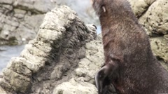 Small fur seal crawling on rocks Stock Footage