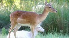 Deer stands Stock Footage