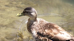 Duck swimming and drinking water Stock Footage