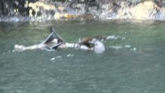 Swimming New Zealand sea lion Stock Footage