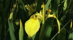 Iris pseudacorus, yellow iris  blooming in reedland  - close up + pan Stock Footage
