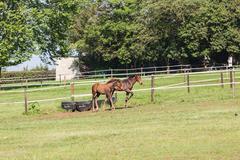 horse foals colt stud farm - stock photo