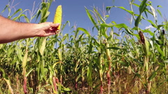 Hand Holding a Healthy Ear of Corn Stock Footage