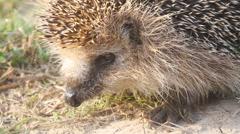Hedgehog  needle wild animal close up Stock Footage