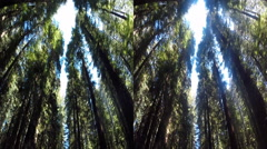 3d red wood forrest looking up 3 Stock Footage