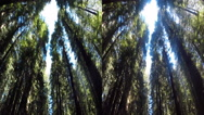 Stock Video Footage of 3d red wood forrest looking up 3